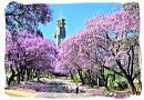 Flowering Jacaranda trees in Pretoria