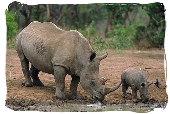 external image Black-Rhino-and-baby.jpg