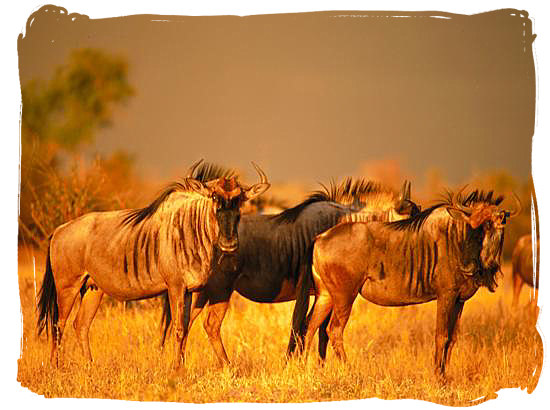 Blue wildebeest (gnu) on the African savannah