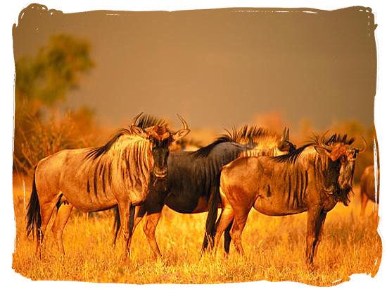 Blue wildebeest (gnu) on the African savannah