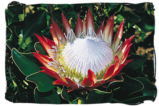 King Protea, royal member of the unique South African Cape Floristic Kingdom