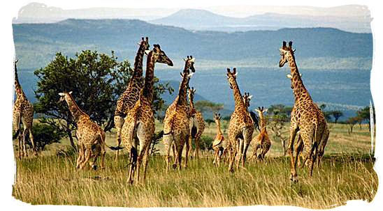 Herd of Giraffes in the Kruger National Park, Limpopo Province