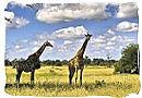 Pair of giraffes