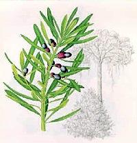 The Yellowwood Tree