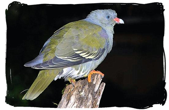 African Green Pigeon - Skukuza Safari, Travel and Accommodation