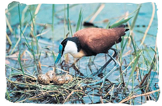 Olifants Restcamp, Kruger National Park, South Africa - The African Jacana looking after its nest and eggs