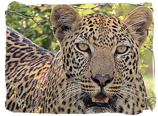 Leopard stare - Kgalagadi Transfrontier National Park in South Africa