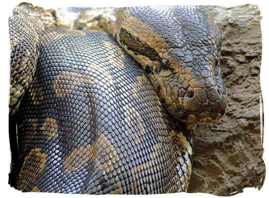 The Rock Python, Africa's biggest snake - Kruger National Park wildlife