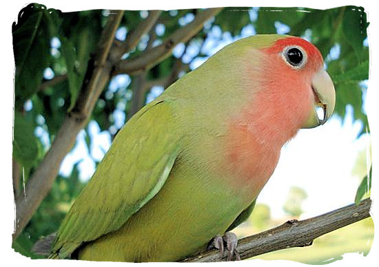 The Augrabies Falls National Park, is part of the natural habitat of the well known Rosy-faced Lovebird (Agapornis Roseicollis