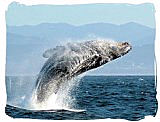 Breaching humpback whale - Addo Elephant National Park