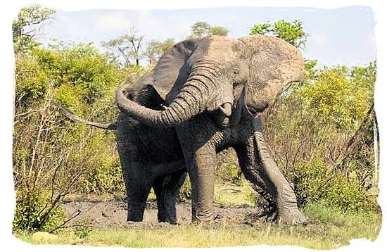 Elephant taking a mud bath