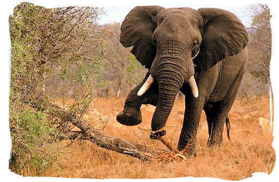 Elephant against tree - Kruger National Park Camps, Kruger National Park, Map, Tours, Safaris