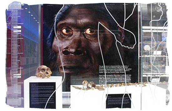 The real fossilized remains of Mrs Ples at the Maropeng visitors centre and an artists impression of how she could have looked like