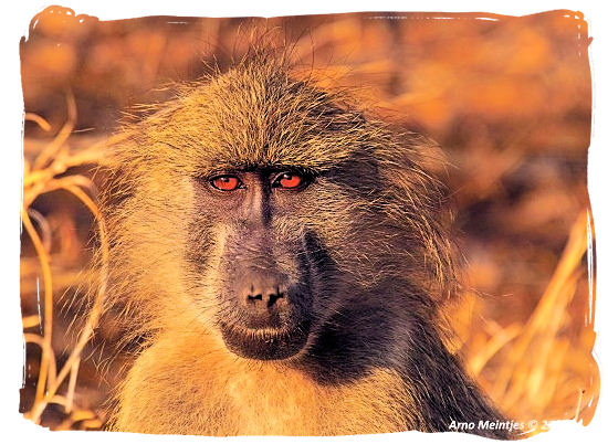 Baboons are quite common in most parts of South Africa - Marakele National Park Climate, Thabazimbi Waterberg