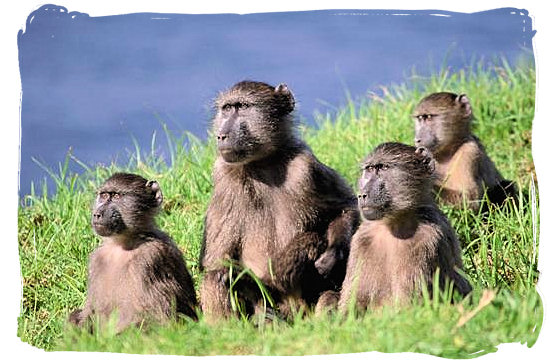 Baboon family with all their noses in the same direction - Boulders Bush Lodge, Kruger National Park, South Africa