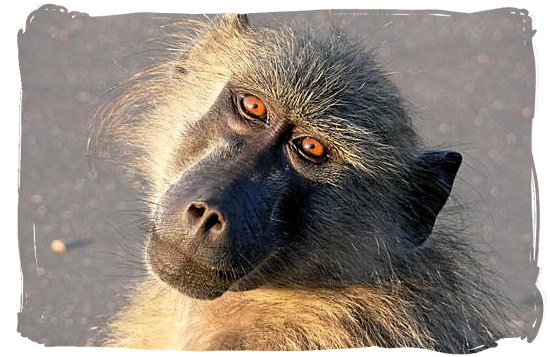 Portrait of a Baboon - Kruger National Park Camps, Kruger National Park, Map, Tours, Safaris