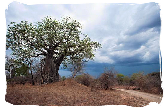 Old Baobab tree standing up to an approaching thunder storm.
