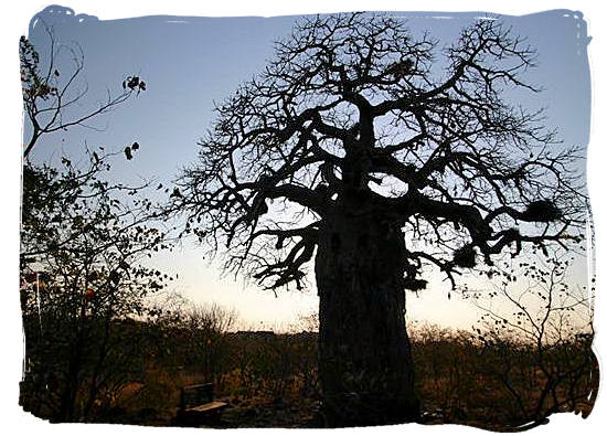 The sun sets over Mopani rest camp and its Baobab tree