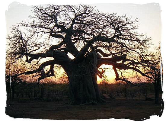 Baobab tree at sunset in Mapungubwe Park