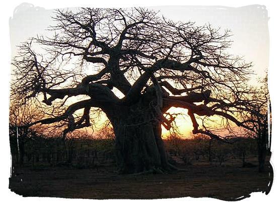 Baobab tree at sunset in Mapungubwe Park