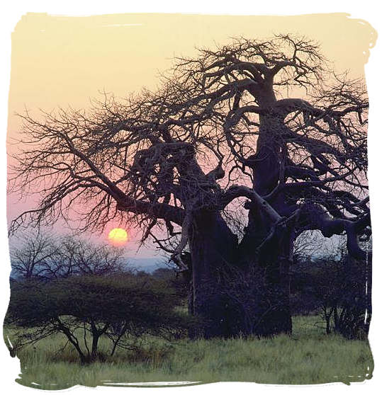 Old Baobab tree at sunset - Kruger National Park wildlife