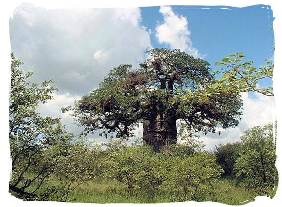 The huge gnarled old baobab tree, a dominating feature in the Mopani camp