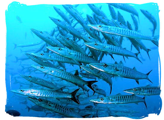 Shoal of barracudas - seafood cuisine in South Africa.