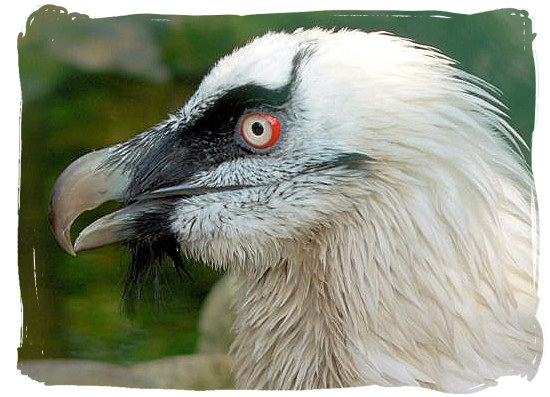 Close up of a Bearded Vulture
