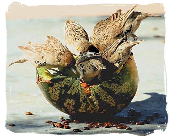 Bunch of birds devouring a Tsamma Melon - Kgalagadi Transfrontier National Park in South Africa