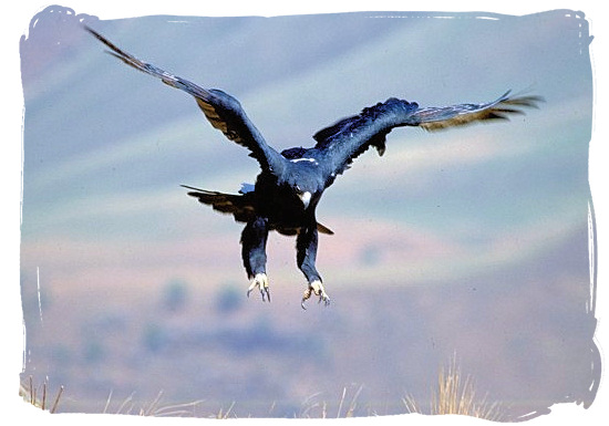 The Black Eagle is landing - Marakele National Park activities