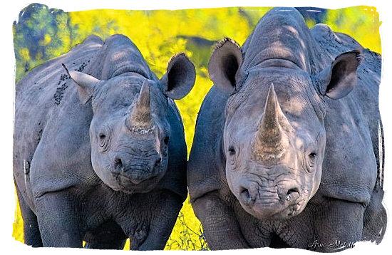 Pair of Black Rhino being curious - Marakele Park in South Africa