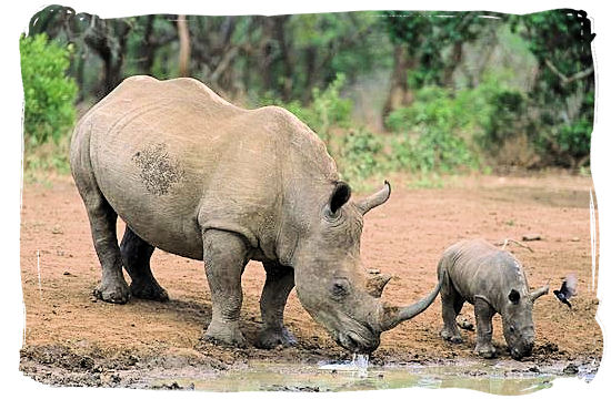 Black Rhino mother and her baby