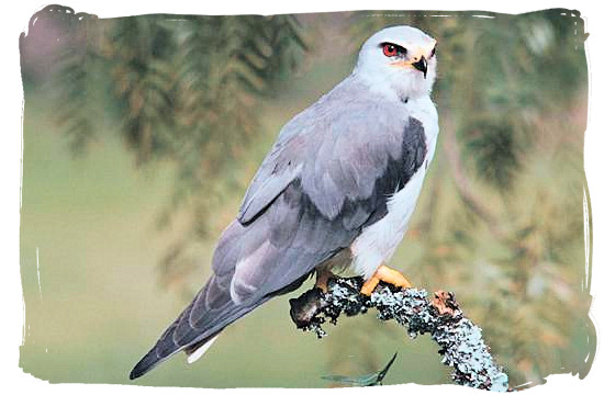 Black Shouldered Kite near Orpen Camp in the Kruger National Park, South Africa