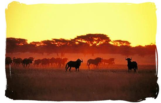 Herd of Black Wildebeest (Gnus) at sundown - Tsendze Camping site, Kruger National Park, South Africa