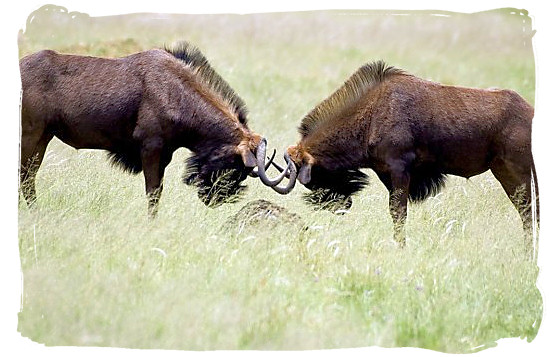 Black Wildebeests locking horns - Mokala National Park in South Africa, endangered African animals