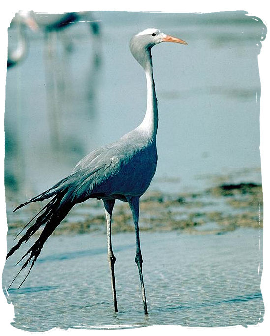 The beautiful Blue Crane, a national symbol of South Africa