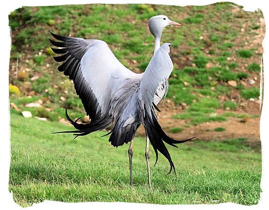 The Blue Crane - National Symbols of South Africa