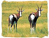 The rare Bontebok antelope in the Bontebok National Park