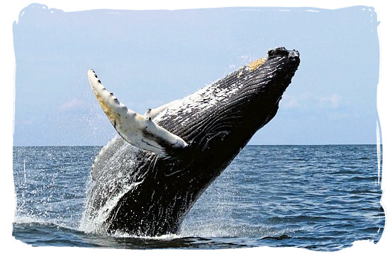 A Humpback Whale breaching the water of false Bay - Table Mountain National Park near Cape Town in South Africa