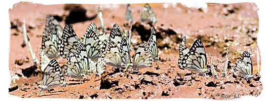 Brown-veined Whites (Belenois aurota) - Mokala National Park in South Africa, endangered African animals