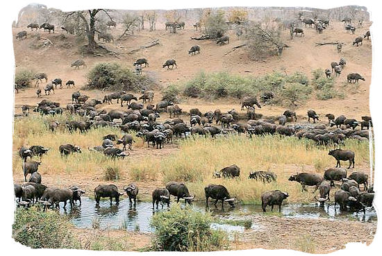 Large herd of Buffalo - Biyamiti bushveld camp