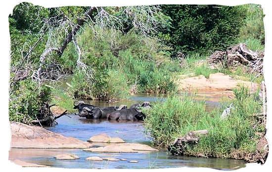 Buffalos seeking relief from the heat - Tsendze camp