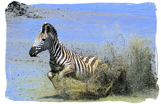 A Burchells zebra on the run - Marakele National Park Climate, Thabazimbi Waterberg