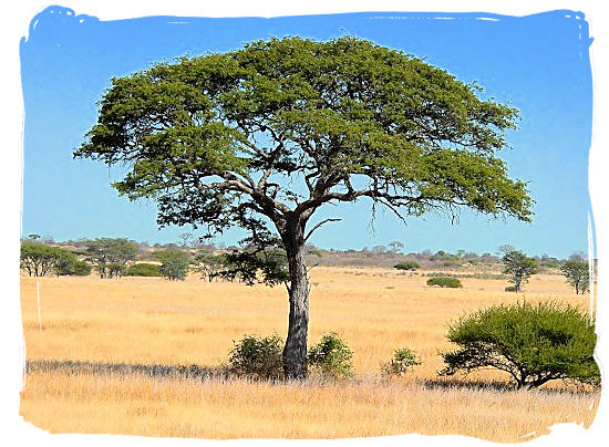 Camel Thorn tree - Mokala National Park in South Africa, endangered African animals