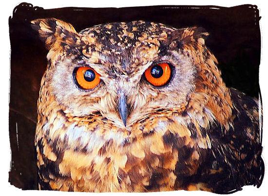 The Cape Eagle Owl (Bubo capensis)