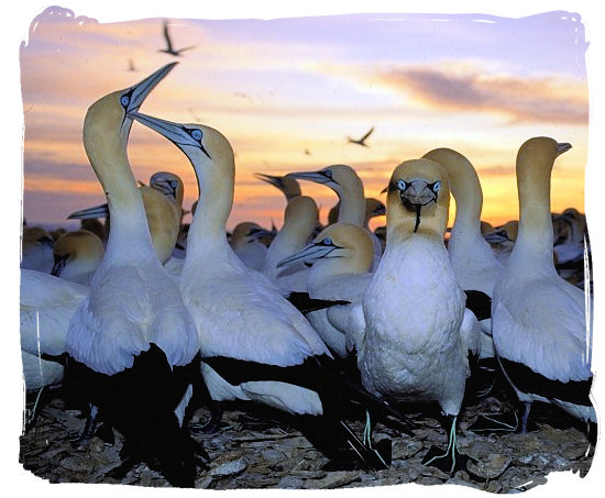 Colony of Cape Gannets, one of the many sea-bird species around the Cape Peninsula - Table Mountain National Park near Cape Town in South Africa