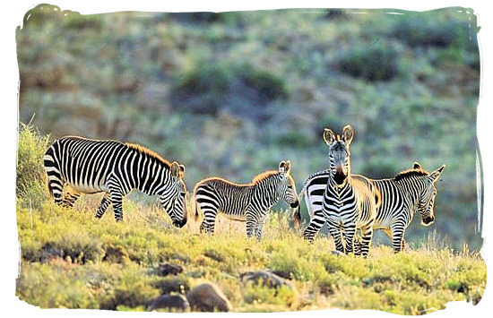 The rare Cape Mountain Zebra - Camdeboo National Park (previously Karoo Nature Reserve)