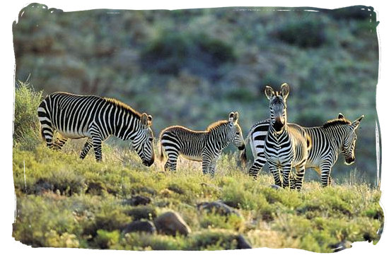 The rare Cape Mountain Zebra