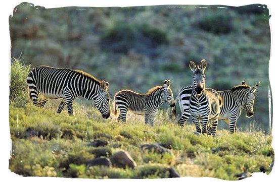 The rare Cape Mountain Zebra