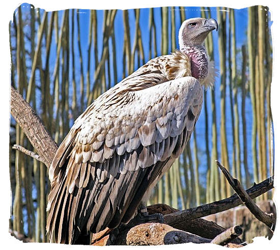 The endangered Cape Vulture - Marakele Park in South Africa